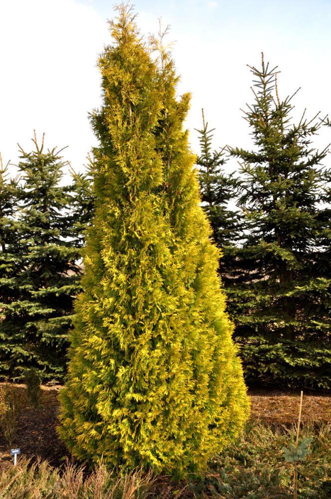 Туя західна Yellow Ribbon 3 річна, Туя западная Еллоу Риббон, Thuja occidentalis Yellow Ribbon