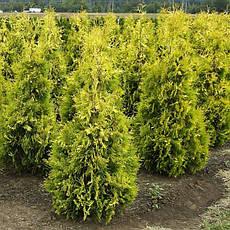 Туя західна Yellow Ribbon 3 річна, Туя западная Еллоу Риббон, Thuja occidentalis Yellow Ribbon, фото 2