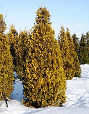 Туя західна Yellow Ribbon 3 річна, Туя западная Еллоу Риббон, Thuja occidentalis Yellow Ribbon, фото 3