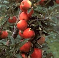 Яблука Снежный кальвин