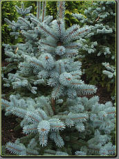 Ялина блакитна Kaibab 3 річна, Ель колючая голубая Кейбаб, Picea Pungens Glauca Kaibab , фото 3