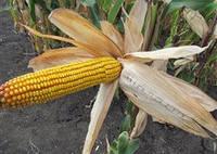 Семена кукурузы венгерской Вудсток – Гибрид ГС 240 - ФАО 230