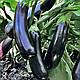 Семена баклажа Естелле F1 (Estelle RZ) F1 100 семян Rijk Zwaan, фото 2