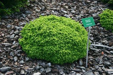 Ялина звичайна Little Gem 3 річна, Ель обыкновенная / европейская Литл Джем, Picea abies Little Gem
