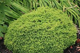 Ялина звичайна Little Gem 3 річна, Ель обыкновенная / европейская Литл Джем, Picea abies Little Gem, фото 2