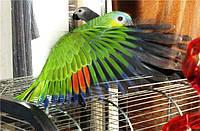 Срочно продаются ручные птенцы Венесуэльского Амазона!!!