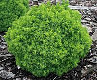 Ялина канадська Alberta Globe 3 річна, Ель канадская Альберта Глобе, Picea glauca Alberta Globe