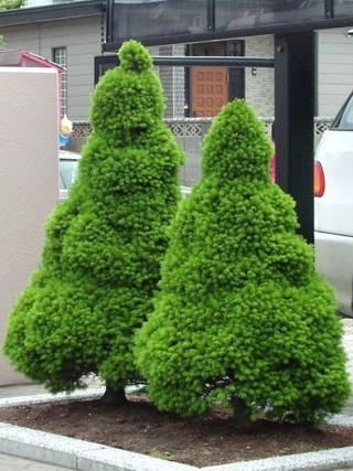 Ялина канадська Conica 5-6 річна 60см, Ель канадская Коника, Picea glauca Conica