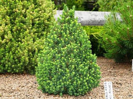 Ялина канадська Conica 5-6 річна 60см, Ель канадская Коника, Picea glauca Conica, фото 2