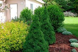 Ялина канадська Conica 5-6 річна 60см, Ель канадская Коника, Picea glauca Conica, фото 3