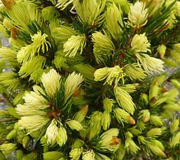 Ялина канадська Daisy's White 6 річна 50см, Ель канадская Дейзи Уайт / Вайт, Picea glauca Daisy's White, фото 3