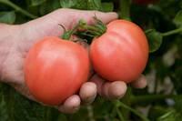 Семена томатов детерминантных (низкорослые) Торбей F1/Torbay F1 (розовый) (1000 сем.), Bejo, Нидерланды