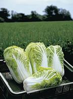 Семена пекинской капусты Билко F1/Bilko F1 (2500 сем.), Bejo, Нидерланды