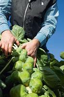 Семена капусты брюссельской Франклин F1/Franklin F1(2500 сем.), Bejo, Нидерланды