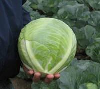 Семена капусты белоголовой для сохранения Риекшн F1/Reaction F1(2500 сем.), Bejo, Нидерланды