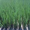 Семена лука - батун (на перо) Параде/Parade (250 000 сем.), Bejo, Нидерланды