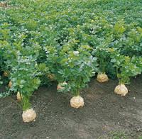 Семена селеры корнево Диамант/Diamant (10 000 сем.), Bejo, Нидерланды