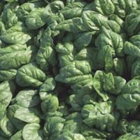 Семена шпината Спирос F1/Spiros F1 (50 000 сем.), Bejo, Нидерланды