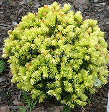 Ялина канадська Dendrofarma Gold 4 річна, Ель канадская Дендрофарма Голд, Picea glauca Dendrofarma Gold, фото 3