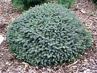 Ялина канадська Echiniformis 3 річна, Ель канадская Эхиниформис, Picea glauca Echiniformis
