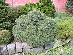 Ялина канадська Echiniformis 3 річна, Ель канадская Эхиниформис, Picea glauca Echiniformis, фото 2