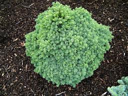 Ялина канадська Echiniformis 3 річна, Ель канадская Эхиниформис, Picea glauca Echiniformis, фото 3