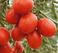 Семена Томата 6 Пунто 7 F1 \ 6 Punto 7 F1 1000 семян Seminis