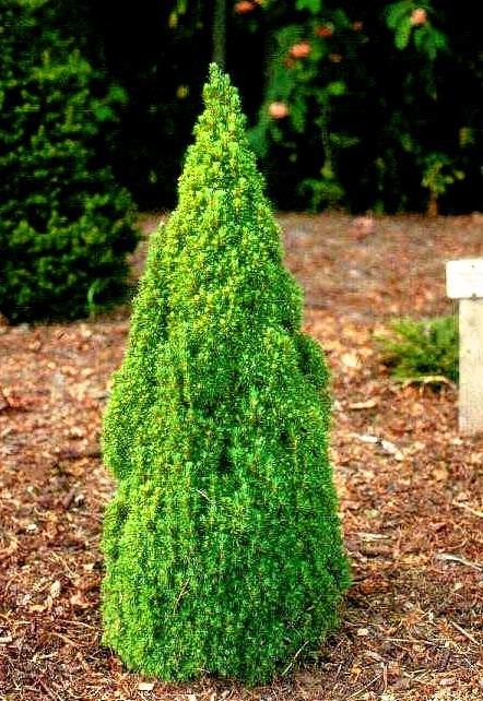 Ялина канадська Laurin 3 річна, Ель канадская Лаурин, Picea glauca Laurin