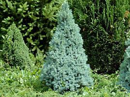 Ялина канадська Sanders Blue 3 річна, Ель канадская голубая Сандерс Блю, Picea glauca Sanders Blue, фото 3