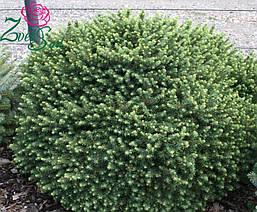 Ялина сербська Karel 4 річна, Ель сербская Карел, Picea omorika Karel, фото 3