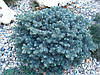 Ялина чорна Waldbrun 3 річна, Ель колючая голубая Вальдбрун, Picea pungens Waldbrunn