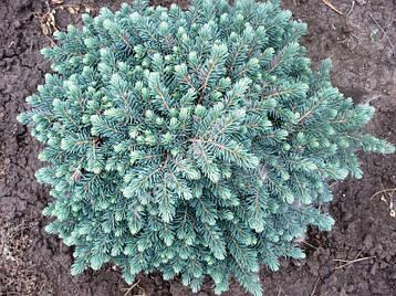 Ялина чорна Waldbrun 3 річна, Ель колючая голубая Вальдбрун, Picea pungens Waldbrunn, фото 2