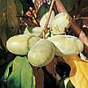 Набор семян азимины сортов Нила Петерсона