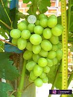 Саженцы винограда Дарья (корнесобственные)