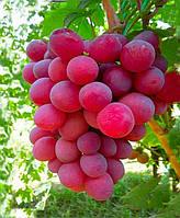 Саженцы винограда Нина (корнесобственные)