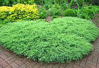 Ялівець горизонтальний Agnieszka 3 річний Можжевельник горизонтальный Агнеска Juniperus horizontalis Agnieszka