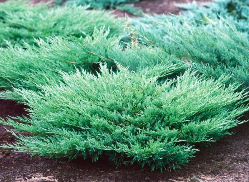 Ялівець горизонтальний Andorra Compact 4 річний, Можжевельник горизонтальный Андорра Компакт, Juniperus