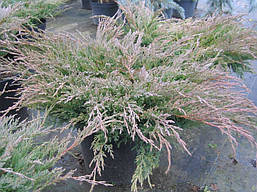 Ялівець горизонтальний Andorra Compact 4 річний, Можжевельник горизонтальный Андорра Компакт, Juniperus, фото 2