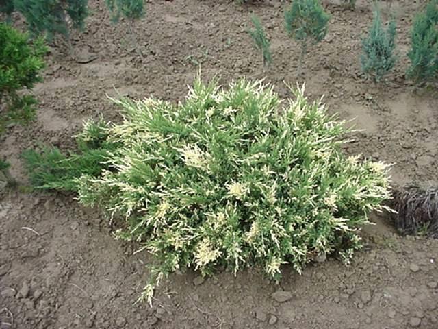 Ялівець горизонтальний Andorra Variegata 3 річний, Можжевельник горизонтальный Aндорра Вариегата, Juniperus