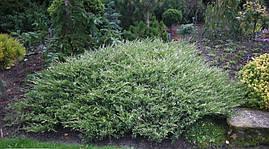 Ялівець горизонтальний Andorra Variegata 3 річний, Можжевельник горизонтальный Aндорра Вариегата, Juniperus, фото 3