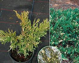 Ялівець горизонтальний Andorra Variegata 3 річний, Можжевельник горизонтальный Aндорра Вариегата, Juniperus, фото 2