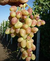 Саженцы винограда Анжелика (корнесобственные)