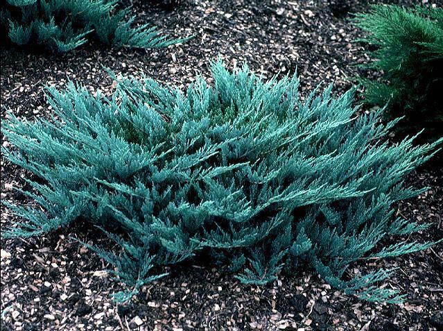 Ялівець горизонтальний Blue Chip 3 річний Можжевельник горизонтальный Блю Чип Juniperus horizontalis Blue Chip