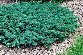 Ялівець горизонтальний Blue Chip 3 річний Можжевельник горизонтальный Блю Чип Juniperus horizontalis Blue Chip, фото 2