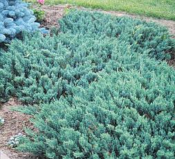 Ялівець горизонтальний Blue Chip 3 річний Можжевельник горизонтальный Блю Чип Juniperus horizontalis Blue Chip, фото 3