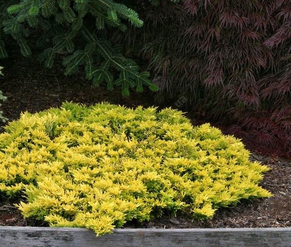 Ялівець горизонтальний Golden Carpet 4 річний Можжевельник горизонтальный Голден Карпет Juniperus Golden Carpe