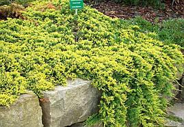 Ялівець горизонтальний Golden Carpet 4 річний Можжевельник горизонтальный Голден Карпет Juniperus Golden Carpe, фото 2