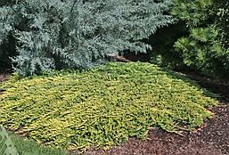 Ялівець горизонтальний Golden Carpet 4 річний Можжевельник горизонтальный Голден Карпет Juniperus Golden Carpe, фото 3