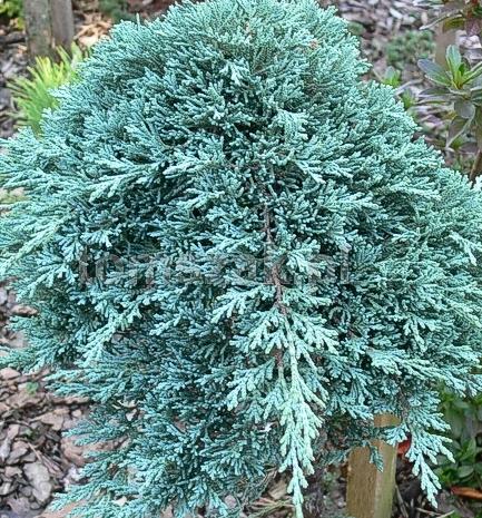 Ялівець горизонтальний Iceе Blue / Monber 4 річний, Можжевельник горизонтальный Айс Блю /Монбер, Juniperus, фото 2