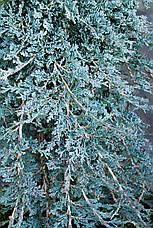 Ялівець горизонтальний Iceе Blue / Monber 4 річний, Можжевельник горизонтальный Айс Блю /Монбер, Juniperus, фото 3